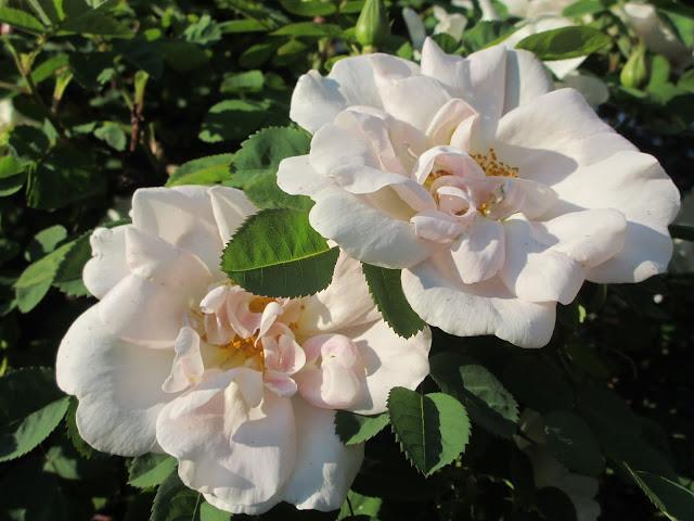 Rosa moyesii 'Nevada'