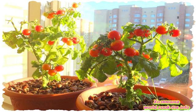 Как выращивать помидоры зимой дома ?