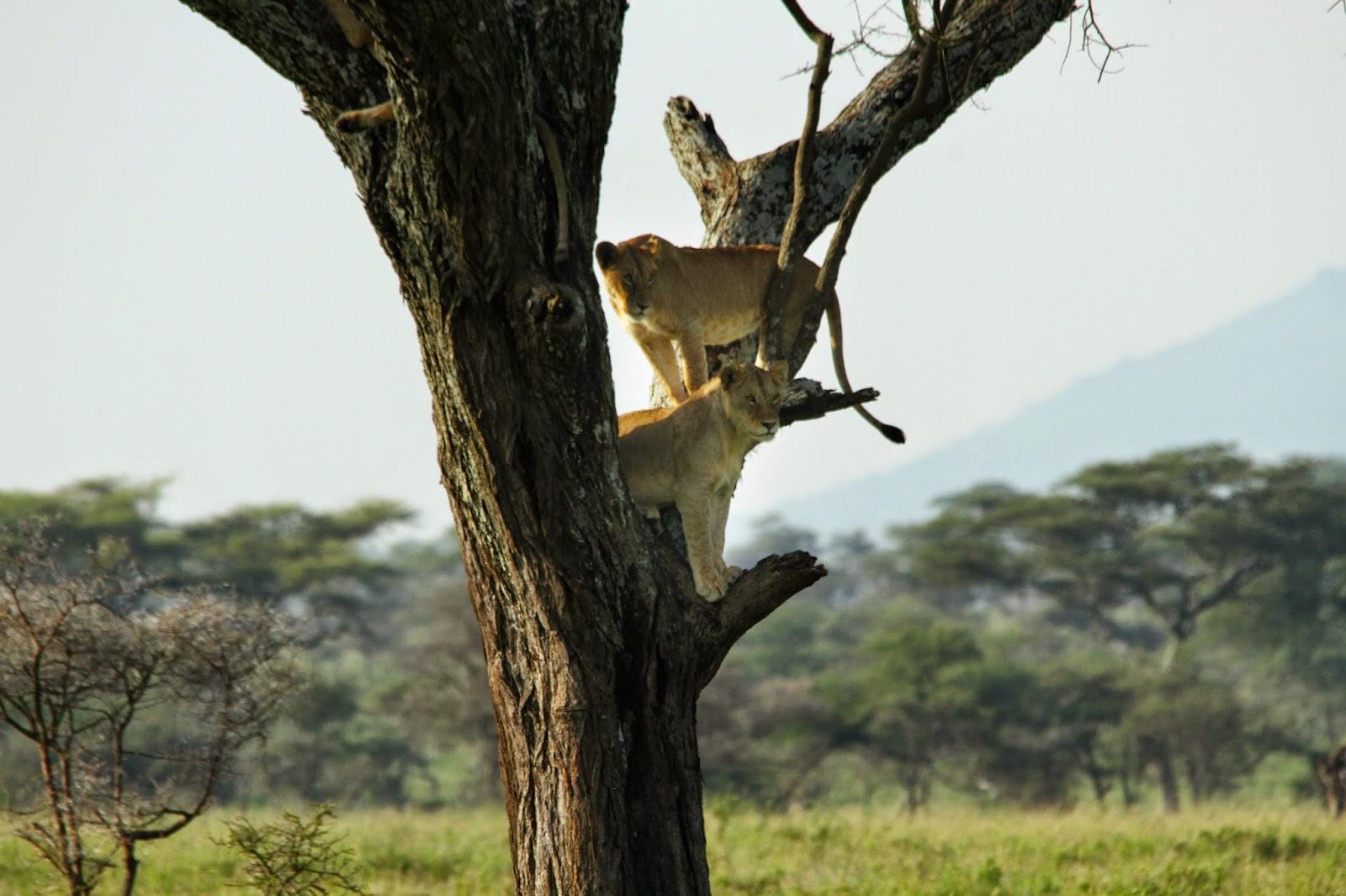 VER LEÕES NO SERENGETI - Encontros imediatos de 3º grau com os leões do Serengeti   Tanzânia