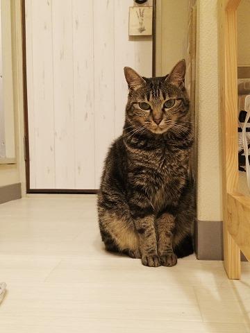 お座りしてるキジトラ猫