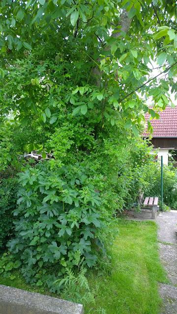 Stockrose und Ramblerrose Rose Marie Vieaud am Walnußbaum  im Gemüsegarten (c) by Joachim Wenk