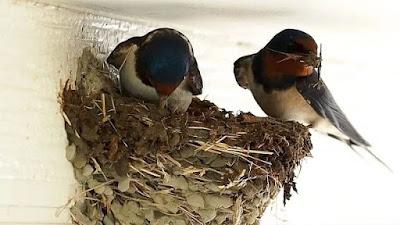 Em Ise as andorinhas já começaram a fazer seus ninhos para alegria da população