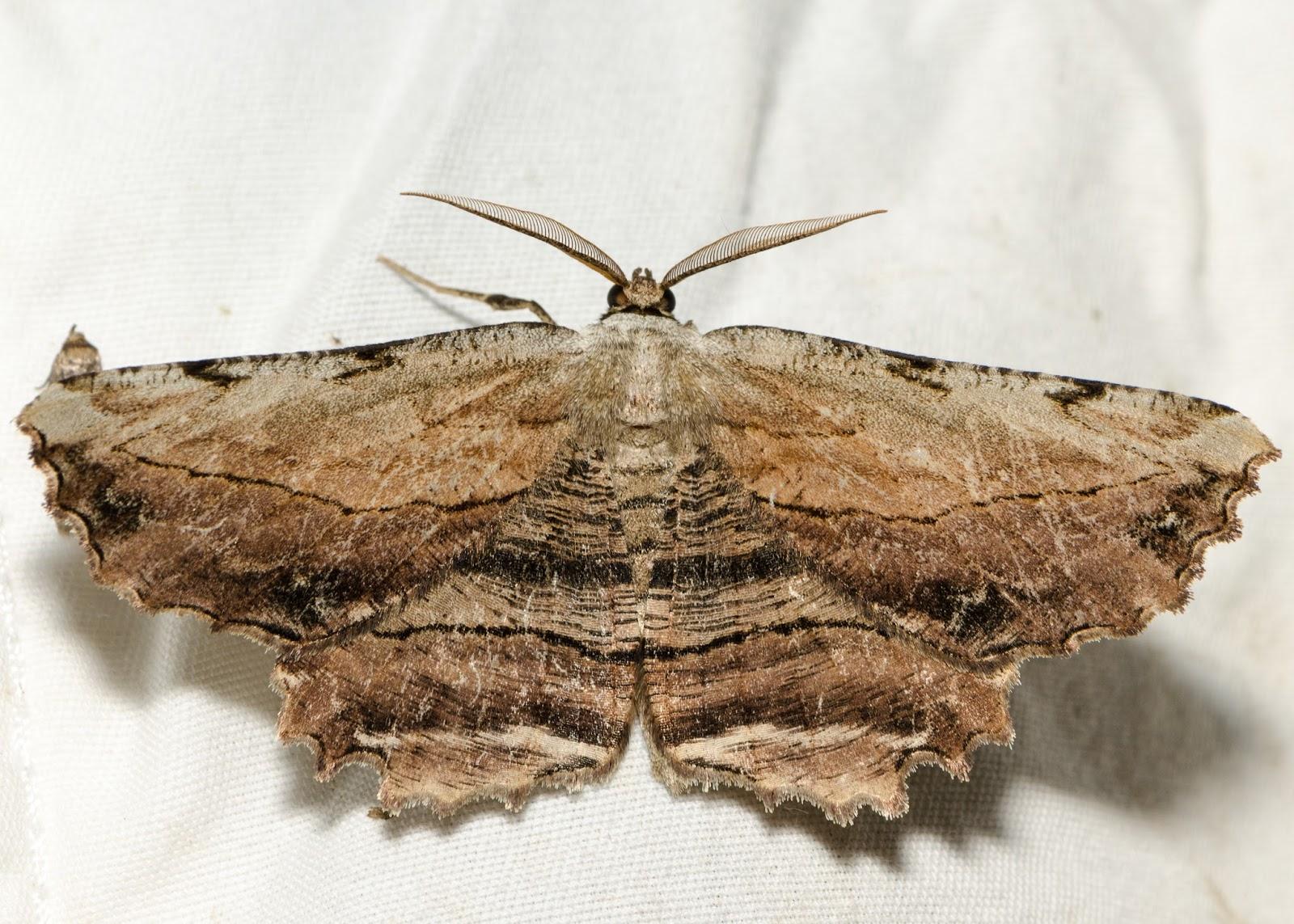 Common Lytrosis (Lytrosis unitaria)