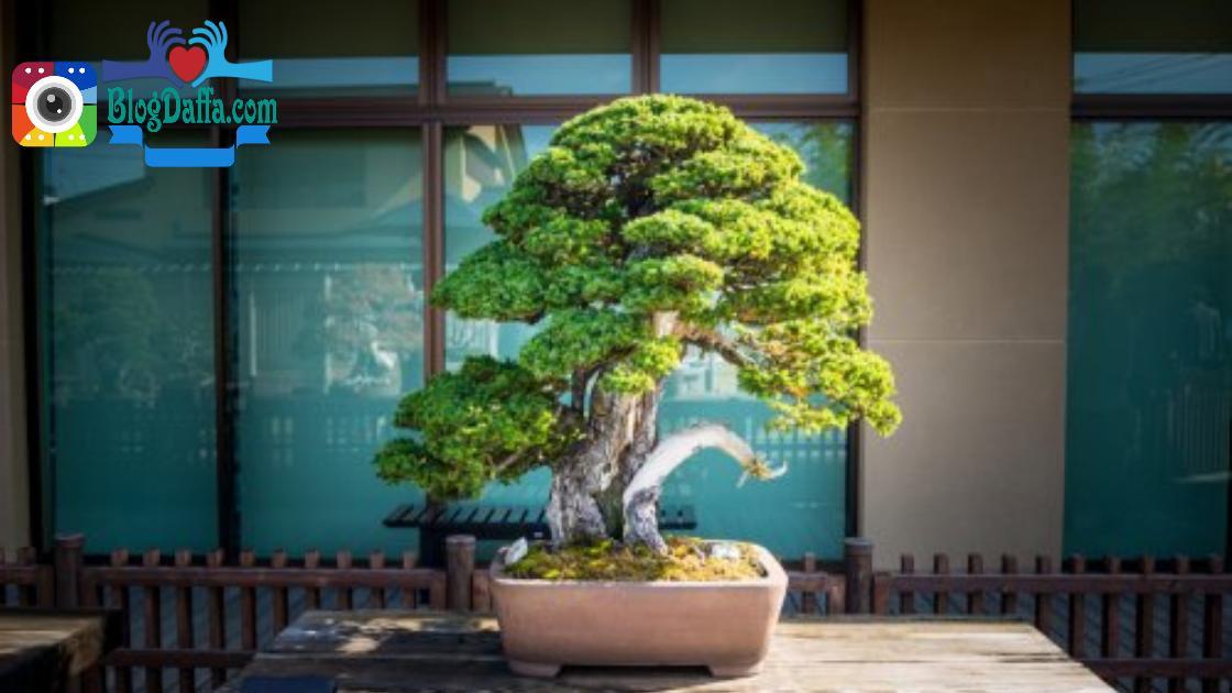 Bonsai pohon kemuning