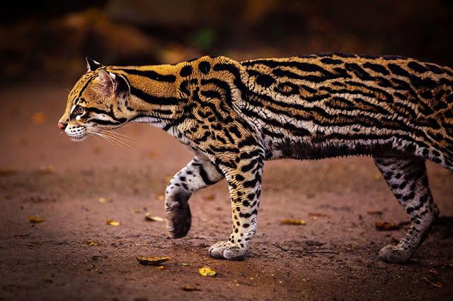 #7 Ocelot (Leopardus Pardalis)