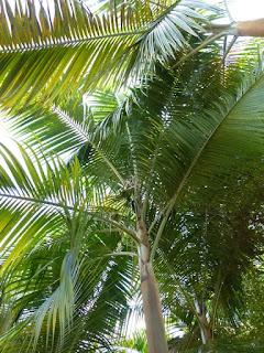 Palmiste rouge - Arec rouge - Acanthophoenix rubra