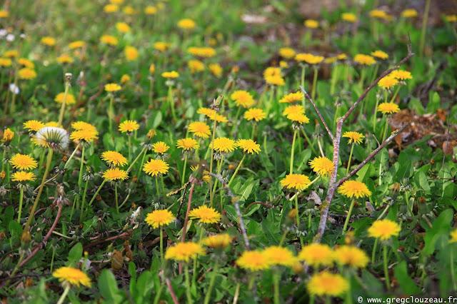 Pissenlit, Pays de Fontainebleau
