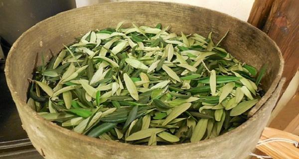 ceaiul din frunze de maslin este un remediu puternic