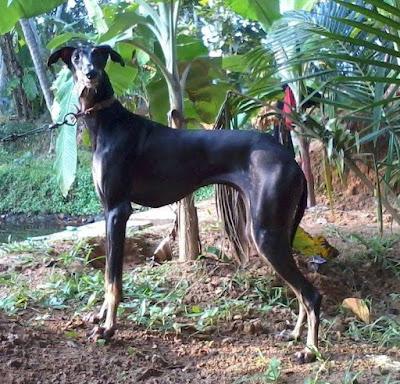 kanni dog history
