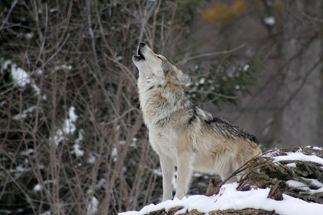 wycie psa, wewnętrzny głos wyrazanie siebie ekspresja symbole wilk wilki znaczenie