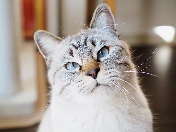 イケメンシャムトラ猫