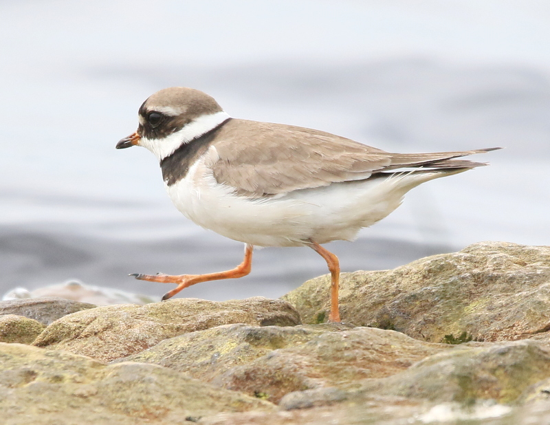 Fly Flatts Ringed Plover