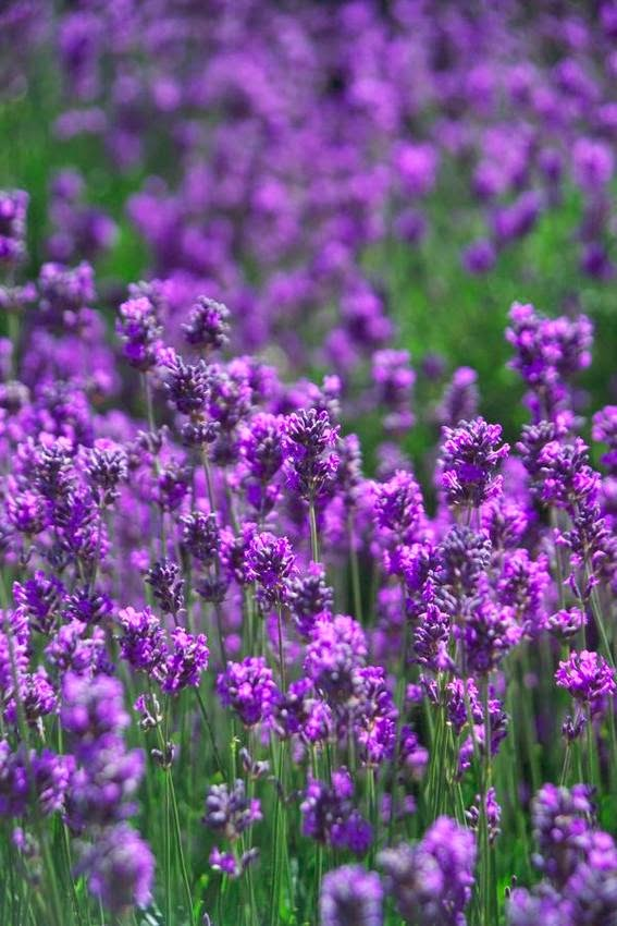 benefits and uses of lavender 2 + lavender skin soother spray recipe