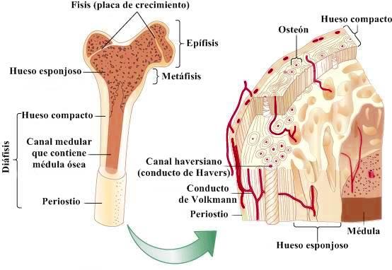 Canal de Havers Estructura interna de un hueso largo humano
