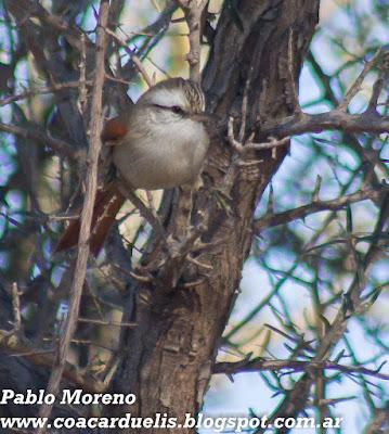 "alt=""curutie blanco,Cranioleuca pyrrhophia,aves de Mendoza"""