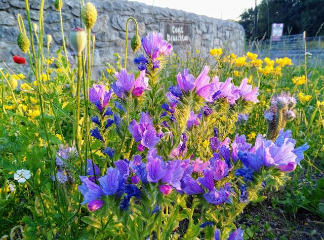 wild purple flowers, Moycullen Galway Ireland