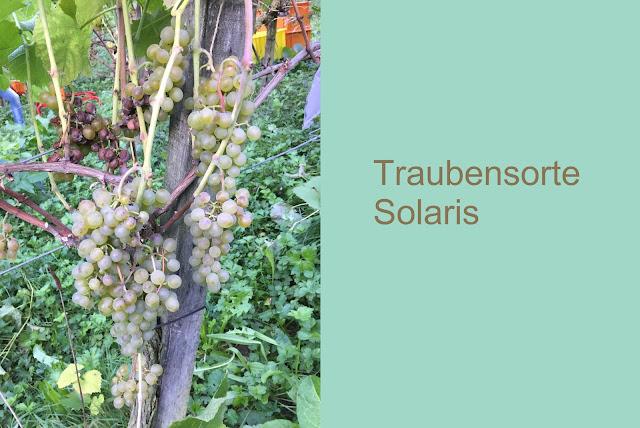 Rebstock Solaris Weisse Trauben