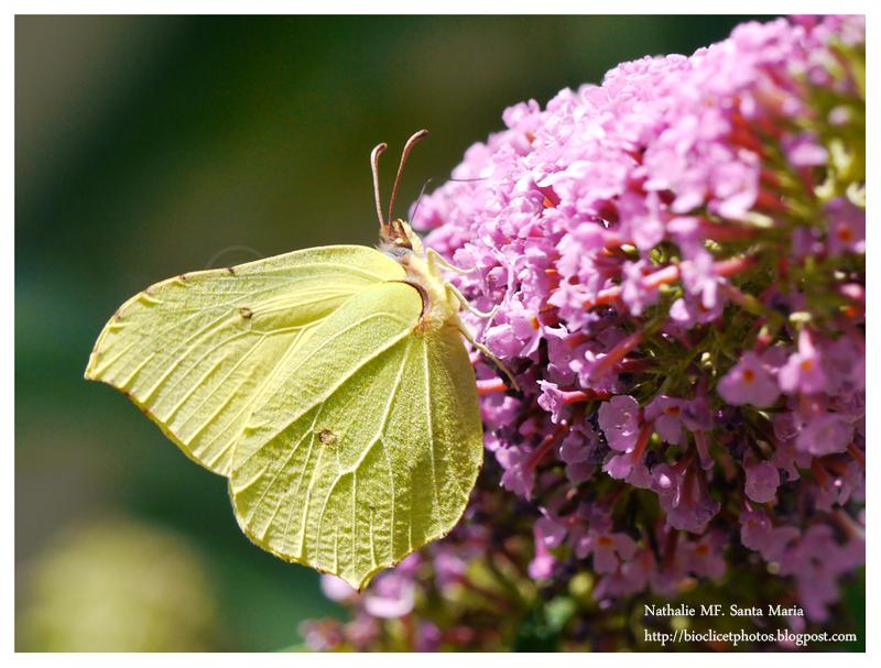 http://bioclicetphotos.blogspot.fr/search/label/Citron%20-%20Gonepteryx%20rhamni