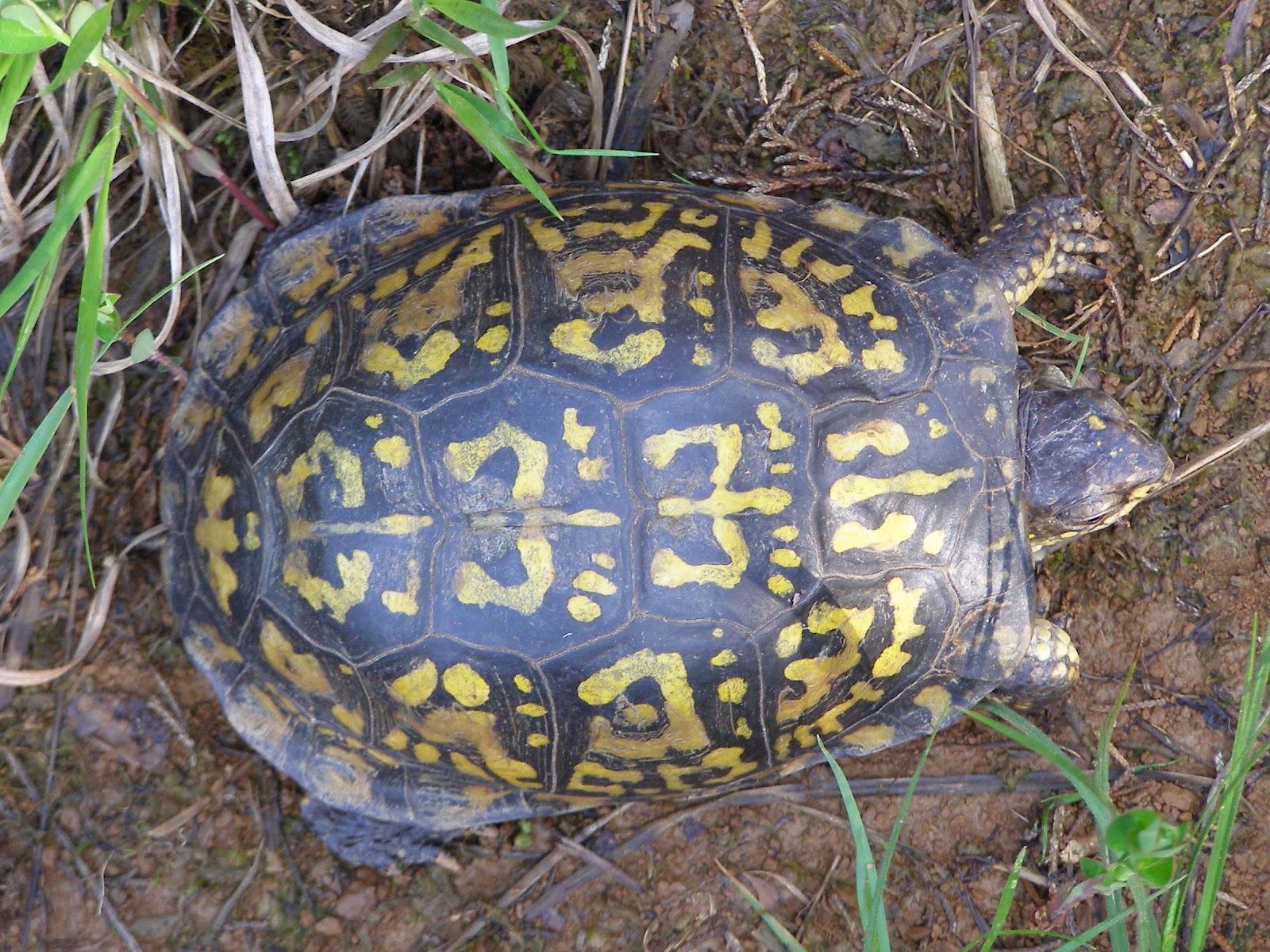 Blue Jay Barrens: Older Box Turtles