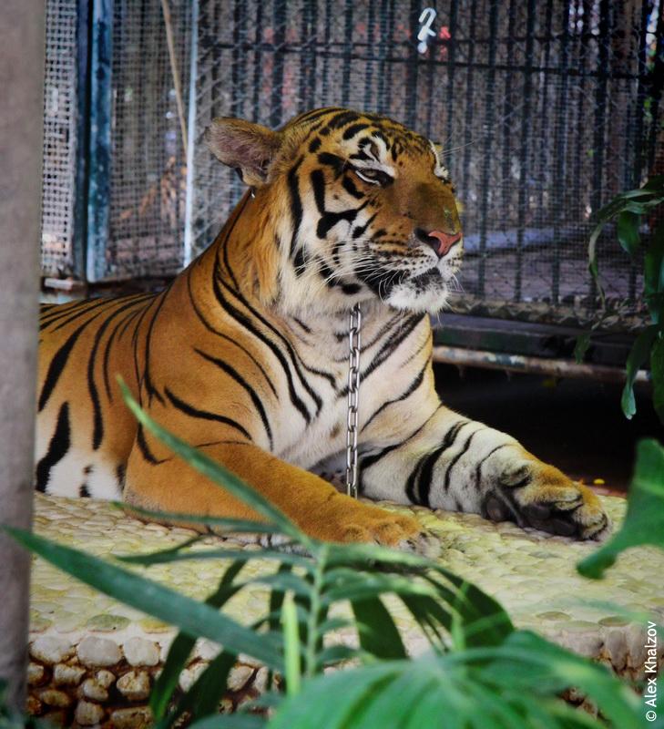 Тигр в Паттайе
