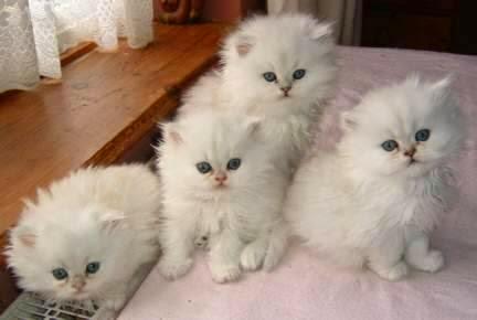 Resultado de imagen de gatos persa ojos azules
