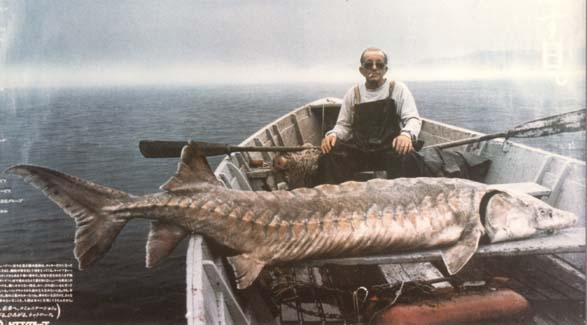 The Dragon's Tales: Sturgeons Are Far From Living Fossils
