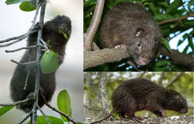 clasificar, ciencias, naturaleza, mamifero, roedor, Jutia, Hutia, vivo, educacion, edupunto