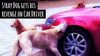 watch how this stray dog took his revenge on the car driver who kicked him via geniushowto.blogspot.com funny dog videos