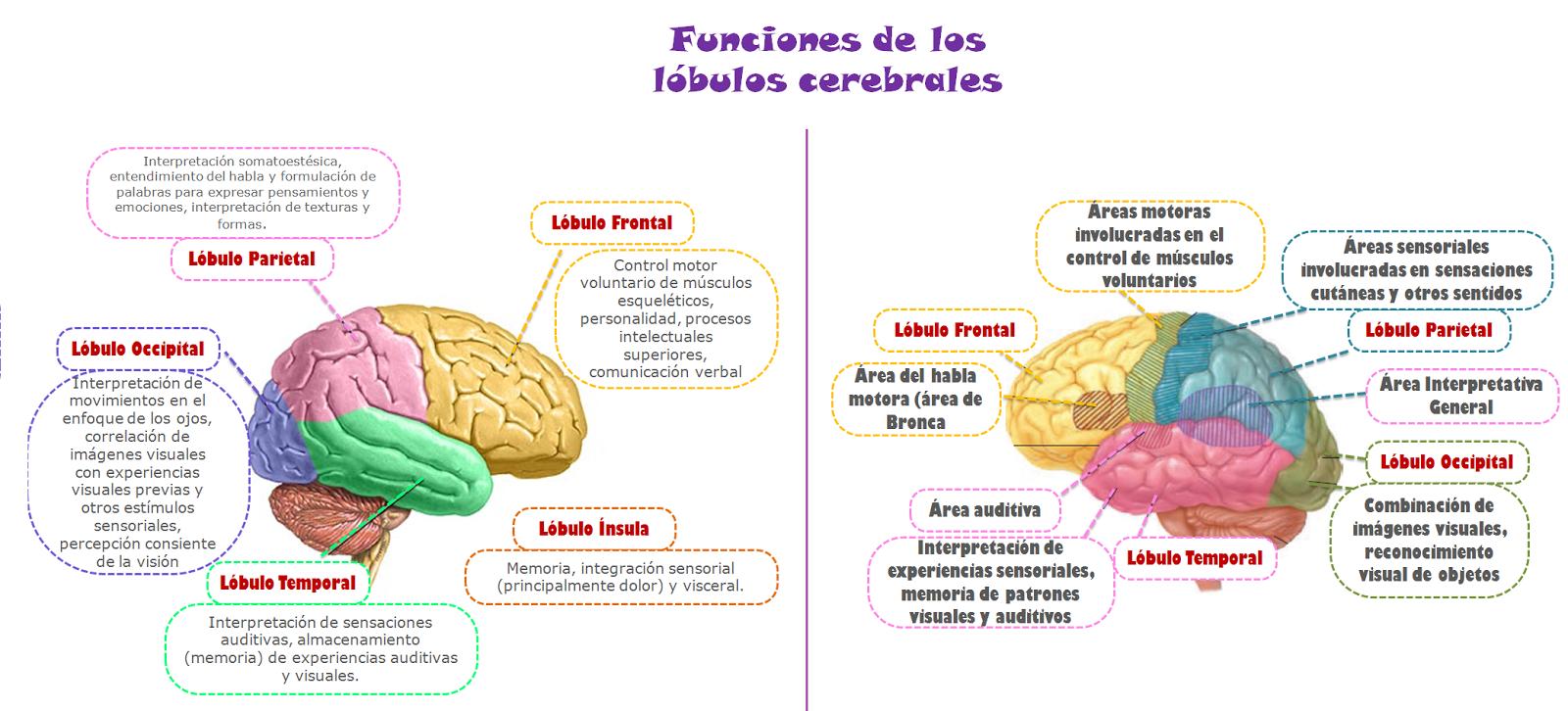 Blog De Fisiología Uas De Gisselle Gpe Camarillo Ramos Funciones De Los Lóbulos Cerebrales