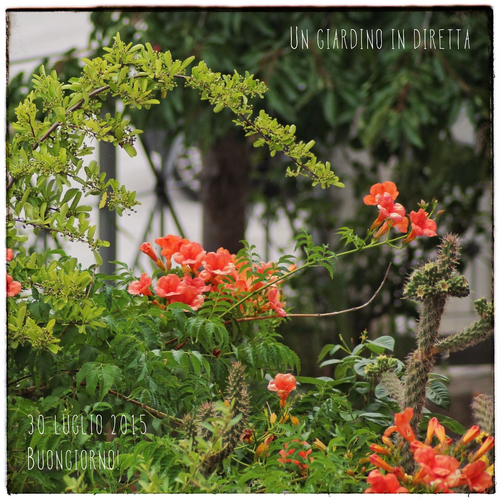 Fiori di luglio bignonia campsis radicans un giardino for Fiori in giardino