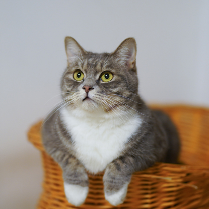 tabby and white cat in basket