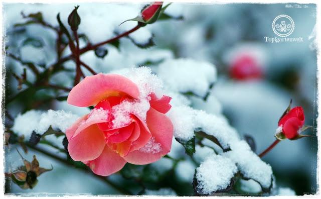 Buchvorstellung: Lieblingsrosen, finden und verlieben - die besten Rosen für den Garten im Portrait - Rose Jazz im Schnee - Gartenblog Topfgartenwelt