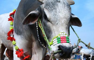 Cows Qurbani