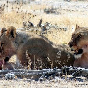 Información para un safari en el Parque Nacional de Etosha en Namibia