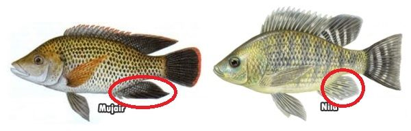 Gambar Perbedaan Ikan Nila Dan Mujair Sirip Anal