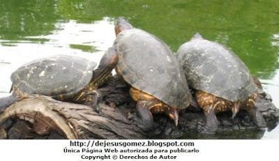 Foto de tortugas saliendo del agua (Parque de las leyendas). Foto de tortugas de Jesus Gómez