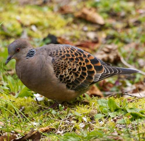 Indian birds - Image of Oriental turtle dove - Streptopelia orientalis