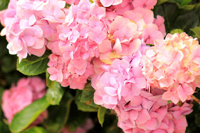 Pink Hydrangeas - Flower Photography by Mademoiselle Mermaid
