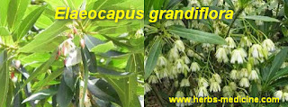 Herbal Viagra use Elaeocapus grandiflora