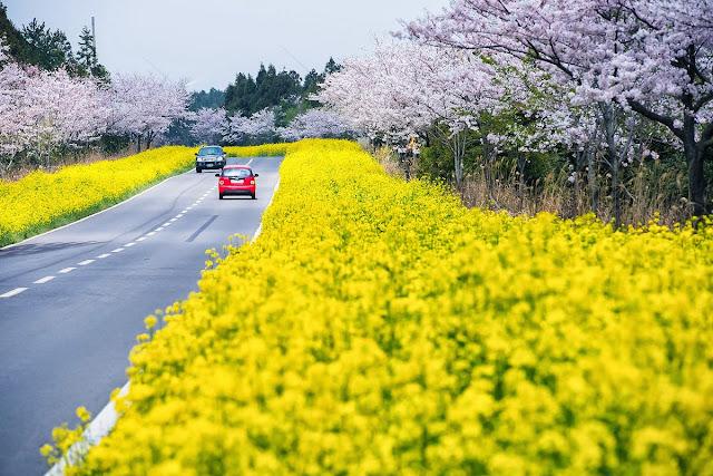 Hoa cải trên đảo Jeju