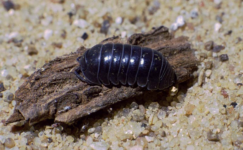 how to get rid of pill bugs in basement