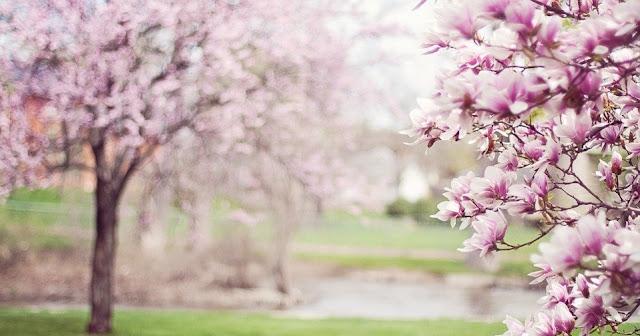 Image: Magnolia Tree, by Jill Wellington on Pixabay
