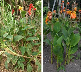 fotografia de plantas de achira