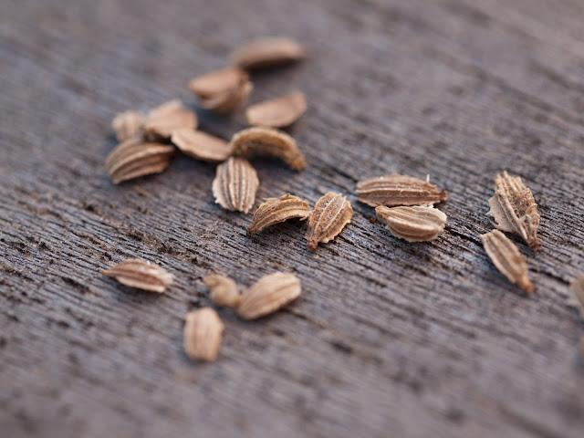 وصفة بذر الجزر للمساعدة على الحمل