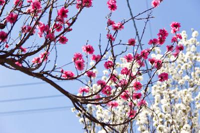 紅白の桃の花