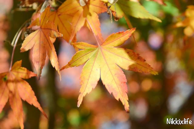 【日本。河口湖】紅葉回廊:觀賞紅葉和富士山的好地點! 15