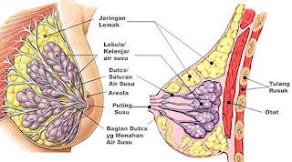cara agar payudara kencang