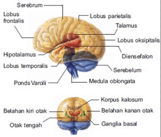 medula oblongata, fungsi medula oblongata, pengertian medula oblongata, struktur medula oblongata, sistem sirkulasi medula oblongata