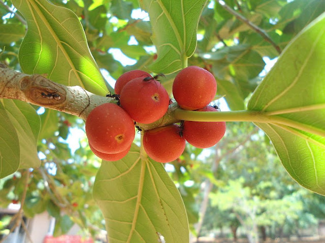 Quả CÂY SI - Ficus benjamina - Nguyên liệu làm thuốc Chữa Ho Hen