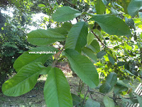 Cara menghilangkan jerawat dengan daun jambu biji dan manfaatnya